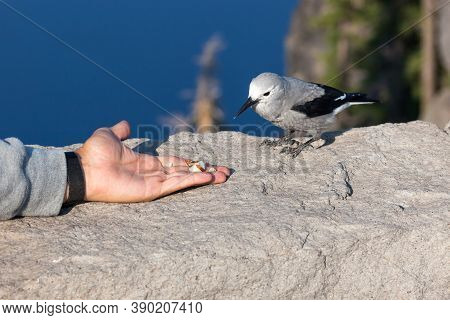 A Grey And Black Clark's Nut Cracker Bird Perched On A Rock Wall Eating A Nut From A Tourists Hand W