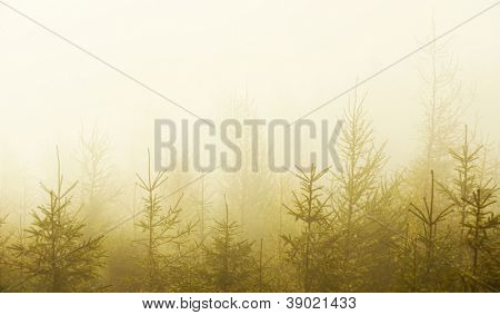 Autumn fir forest in sunset light
