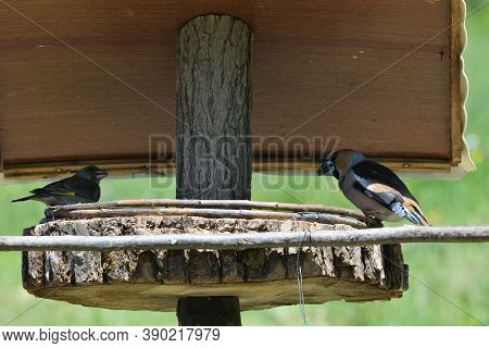 Two Hawfinchs Eating Sunflowers And Seeds On The Fodder Rack