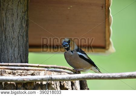 Portrait Of The Hawfinch Sitting On Tree Branch In The Spring
