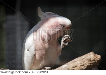 This Is A Close Up Of A Pink Cockatoo Eating A Nut
