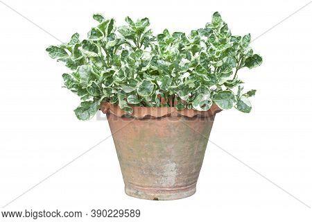 Slipper Flower, Redbird Cactus, Jew-bush, Zigzag Plant Or Euphorbia Tithymaloides Is A Thai Herb In