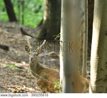Deer Buck With Antler In Dense Forest Through The Trees During Rut