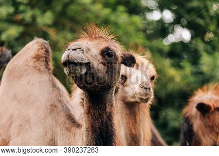 Heads Of Two Camels In The Gobi Desert In Mongolia. Close Up Nose, Mouth And Eyes Of Big Brown Camel