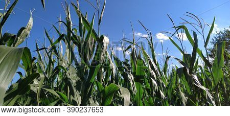 Corn On The Stalk In The Field. Corn Field With Plants. Flowering And Fruiting Corn. Agriculture