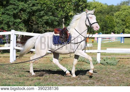 Beautiful Purebred Cremello Stallion Horse Galloping Under Saddle. A Single Horse Canter On String D