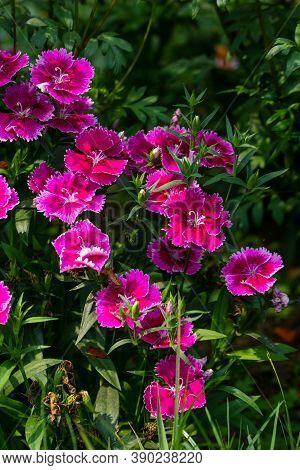 Pink Dianthus Chinensis Or China Pink Flowers In Garden