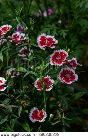 White And Red Dianthus Chinensis Or China Pink Flowers