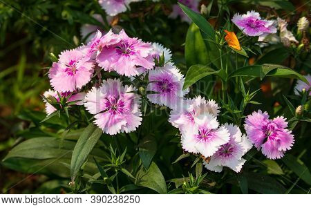 White Dianthus Chinensis Or China Pink Flowers In Garden
