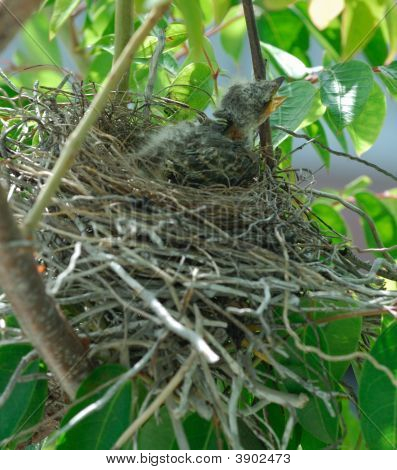 Baby Bird On The Nest