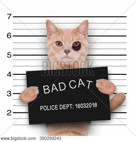 Cat Kitten Kitty Holding A Police Department Banner , As A Mugshot Photo, At Police Office