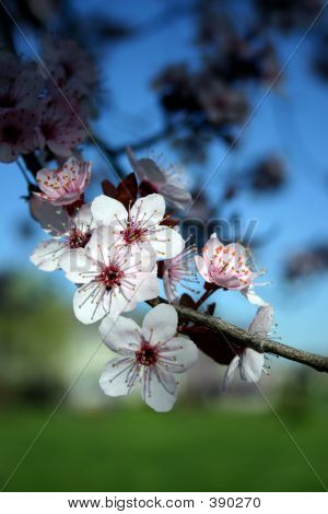 White Flowering Tree (cherry)