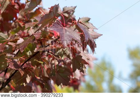 Red Maple, Acer Rubrum, Autumn View. Leaves Close-up. Autumn Background.