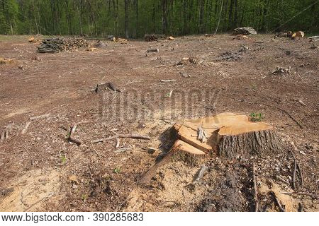 A Tree Stump At A Felling Site In The Forest. Forest Clearing. Wood Harvesting.