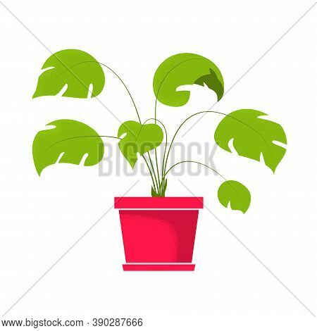 Beautiful Monstera, Tropical Potted Home Indoor Plant. Vector Illustration Isolated On White Backgro