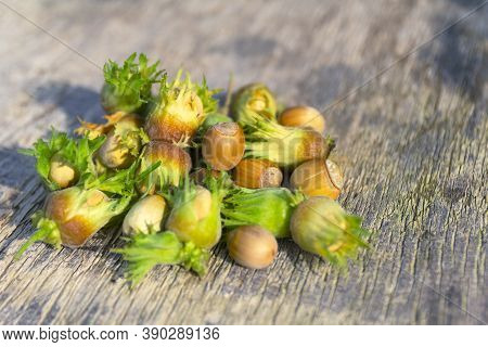 Green Hazelnuts On The Wooden Table, Autumn Harvest Of Nuts