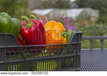 A Colorful Mix Of Paprika Capsicum In A Box Against The Backdrop Of Greenhouses