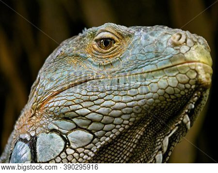 Green Iguana (iguana Iguana) Making Eye Contact With Camera, Close-up