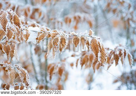 Tree With Frozen Leaves Covered With Frost. Tree Branches Under The Snow, Frosty Day. Beautiful Bran
