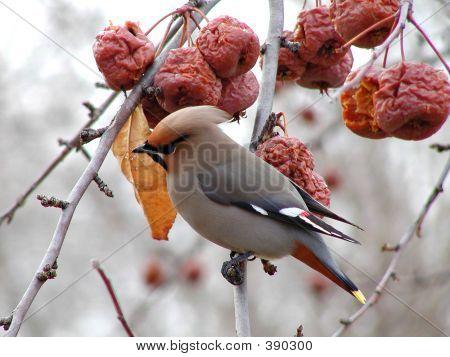 Cedar Waxwing In Winter