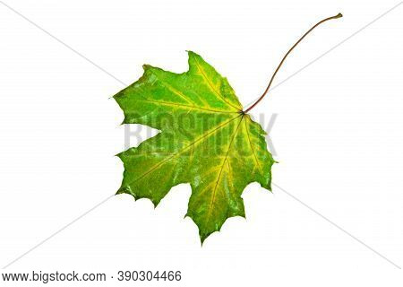 Wet, Fallen, Green Maple Leaf On A White Background Isolate, Autumn Background, Leaf Fall, Autumn We