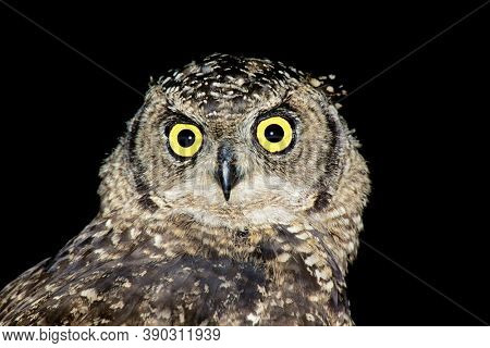 Portrait of a spotted eagle-owl (Bubo africanus) on black, South Africa