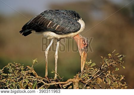 A marabou stork (Leptoptilos crumeniferus) in a tree, Kruger National Park, South Africa