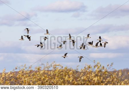 Migration Flock of Greater White fronted Geese