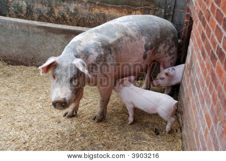 Piglets and mother pig on a farm poster
