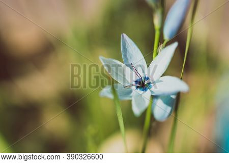 Close-up Of Ixia African Corn Lillies Plant With Blue Flowers Outdoor In Sunny Backyard Shot At Shal