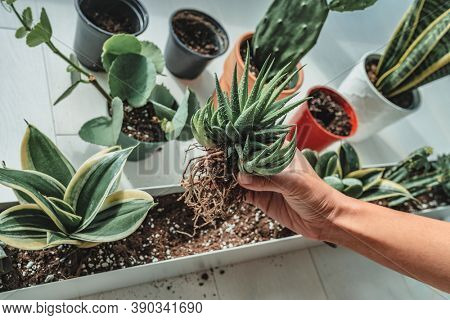 Home gardening woman planting new succulent hawthoria plant in apartment indoor garden planter. Repotting rootbound plants in potting soil.