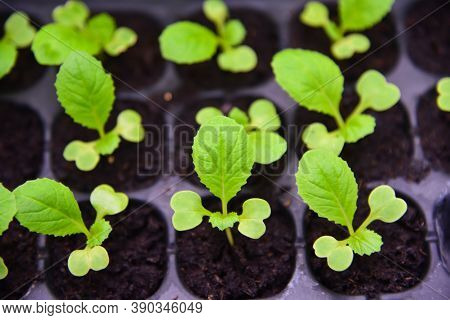 Seedlings Of Chinese Cabbage In Nursery Tray