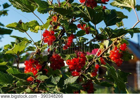 Red Currants On A Branch. Red Currant Bush In The Garden. Ripe Red Currant Berries.