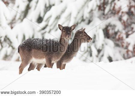 Two Baby Fallow Deers Standing On Meadow In Winter.