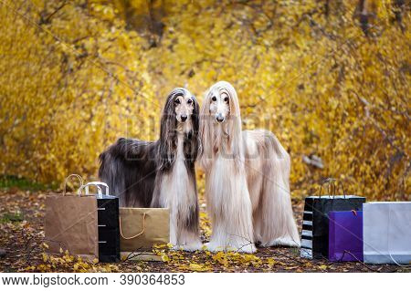 Two Stylish Afghan Hounds, Dogs, With Shopping Bags On The Background Of The Autumn Forest. Concept