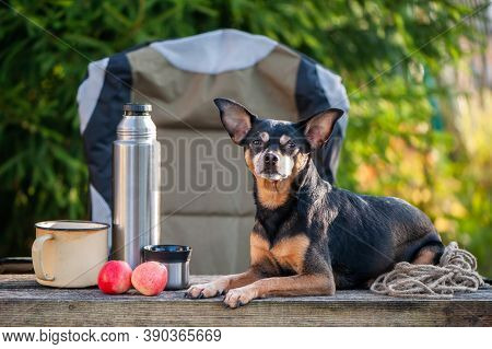 Tourism And Camping Theme With Dog. A Cute Dog Sits Outdoors In An Equipped Camp On A Camping Chair,