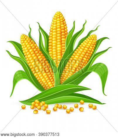 Corncobs with yellow corns and green leaves group, white background. Ripe corn vegetables isolated,. 3D illustration.