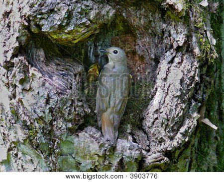 Flycatcher At Nest