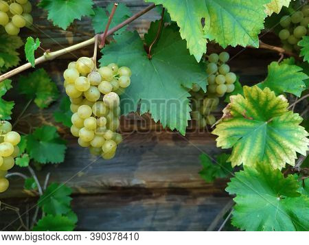 Beautiful Bunches Of Ripe White Grapes On A Wooden Background. Green Leaves. The Grapes Are Ripe. Wi