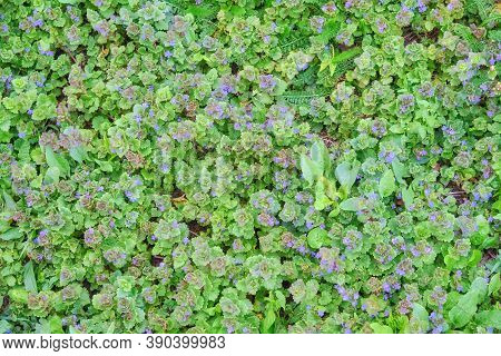 Ajuga Reptans A Genus Of Herbaceous Plants In The Family Clear-flowered, Or Lip-flowered Commonly Kn