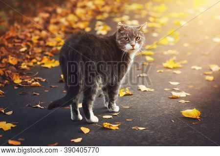 A Stray Gray Cat Walks On A Sunny Autumn Day Along The Road Among The Fallen Dry Leaves And Looks Ar