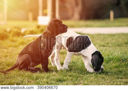 Two Puppy Great Dane On The Grass