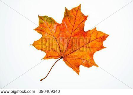 Wet, Fallen, Orange Maple Leaf On A White Background Isolate, Autumn Background, Leaf Fall, Autumn W