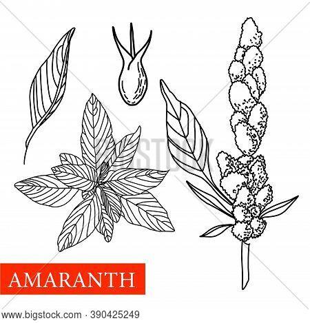 Amaranth Plant. Botanical Illustration. Amaranth. Medical Plants.
