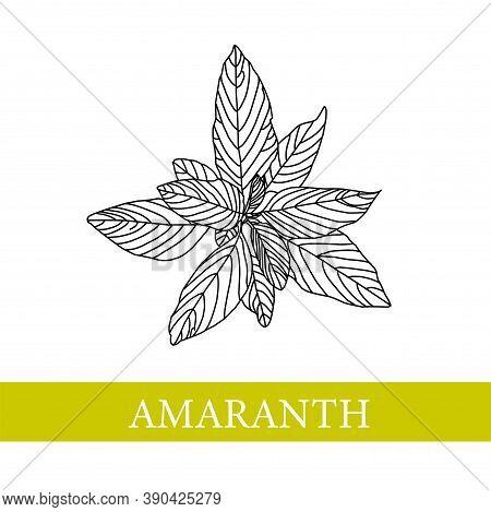 Amaranth Plant. Botanical Illustration. Amaranth. Medical Plants