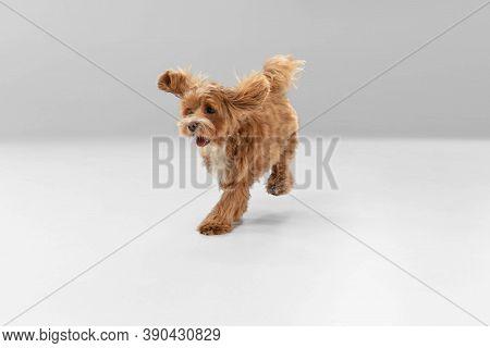 On The Run. Maltipu Little Dog Is Posing. Cute Playful Braun Doggy Or Pet Playing On White Studio Ba