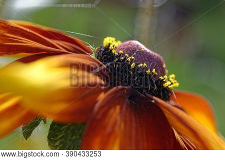 Close-up Photo Of Autumn Orange Flower Stamens, Flowers Stamens And Pistil