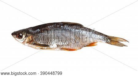 Dried Roach Isolated On White Background. Top View.