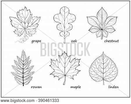 Set Of Black And White Illustrations With Different Leaves For Coloring Book. Worksheet For Children