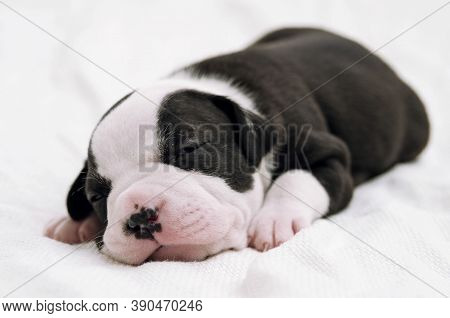 Staffordshire Terrier One-month Puppy Dog. Sleepy Young Puppy Dog Lying On White Blanket. Puppy Dog